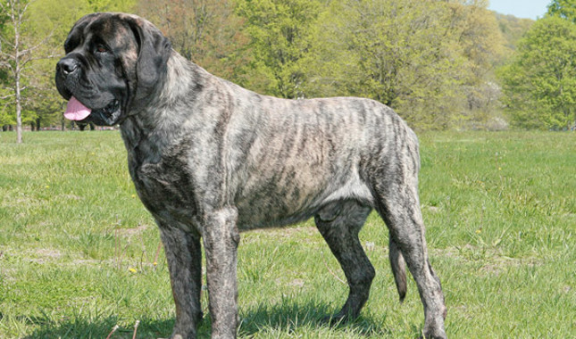 Dog Breeds Over  Lbs